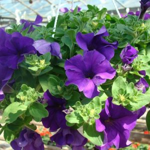 Petunia Surfinia Dark Blue