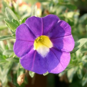 Calibrachoa-violet