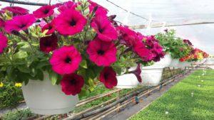 Petunia burgundy