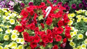 Petunia Surfinia Compact Red