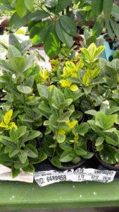 Euonymus  - arbust vesnic verde