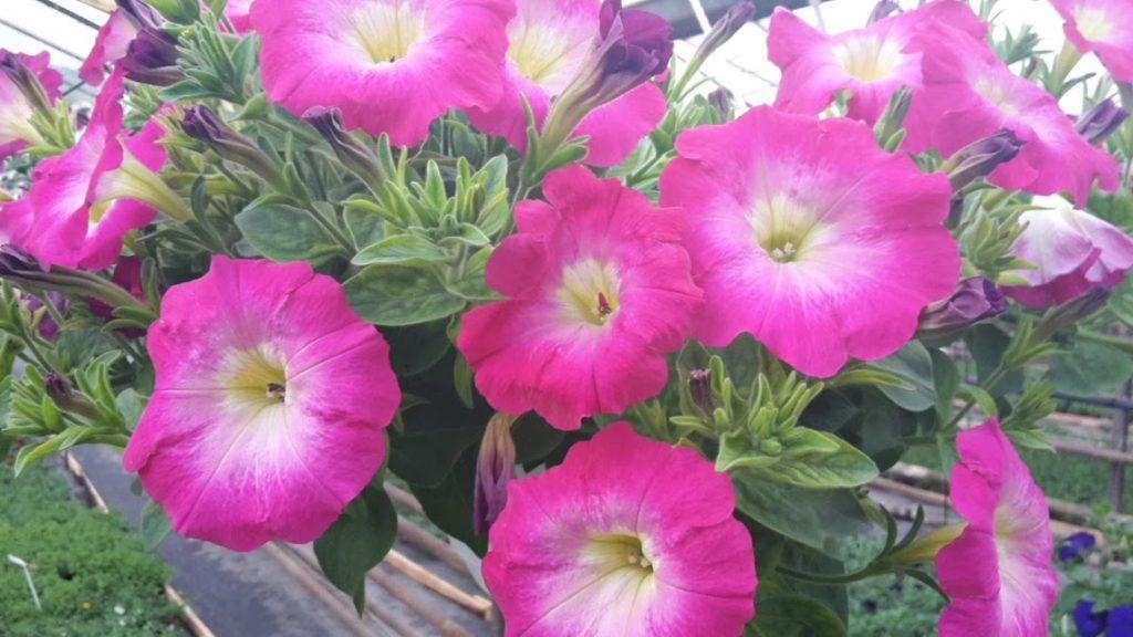 Petunia pink morn